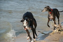 Buddy_beach_running